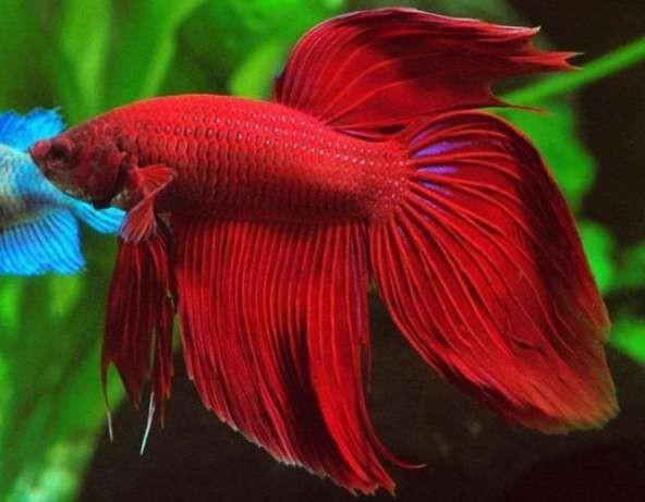 Петушок Вуалехвост (самец) Красный
